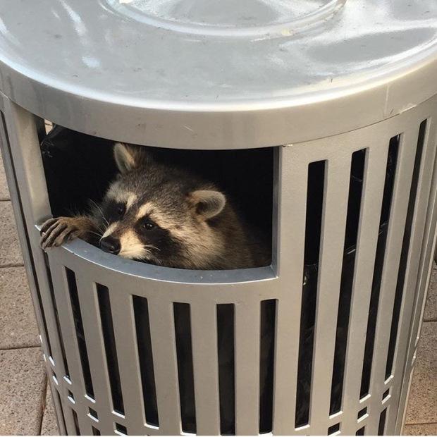 trash-panda